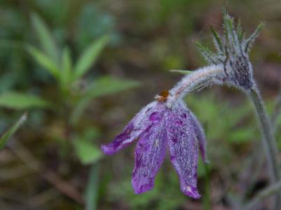 zamrożony kwiat